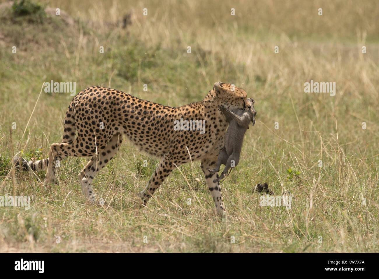 Cheetah (Acinonyx jubatus) cub carrying a baby warthog (Phacochoerus africans) just after catching it Stock Photo