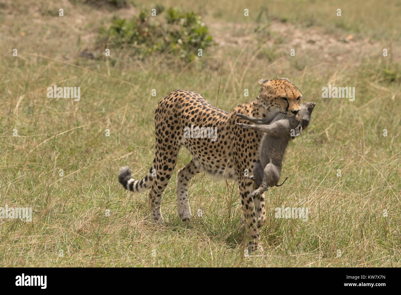 Cheetah (Acinonyx jubatus) cub carrying a baby warthog (Phacochoerus africans) just after catching it - Stock Image