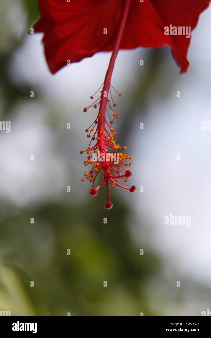 Bangladesh Flowers - Stock Image