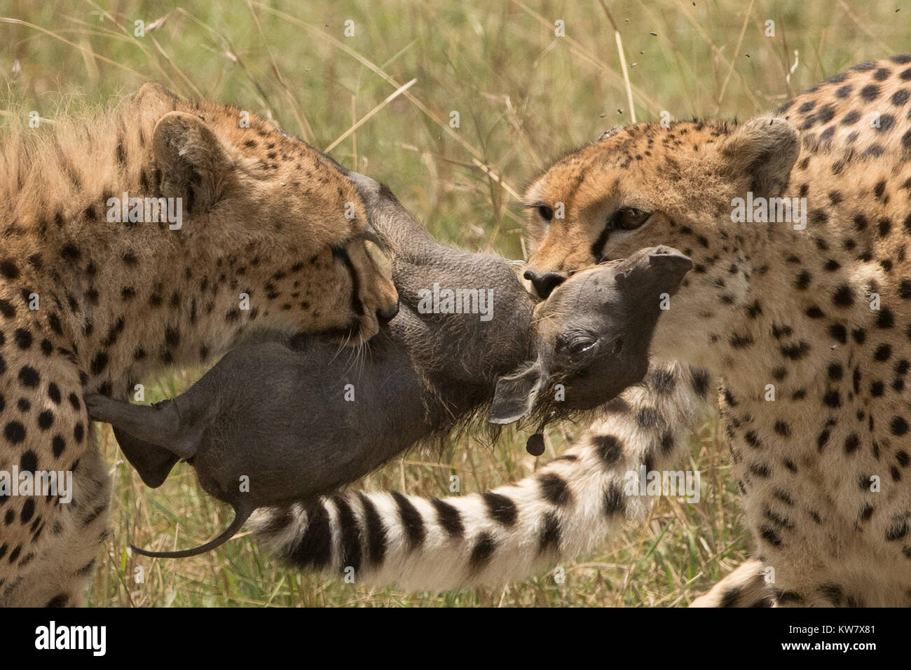 Cheetah (Acinonyx jubatus) cub and her sister tugging at a baby warthog (Phacochoerus africans) after catching it - Stock Image