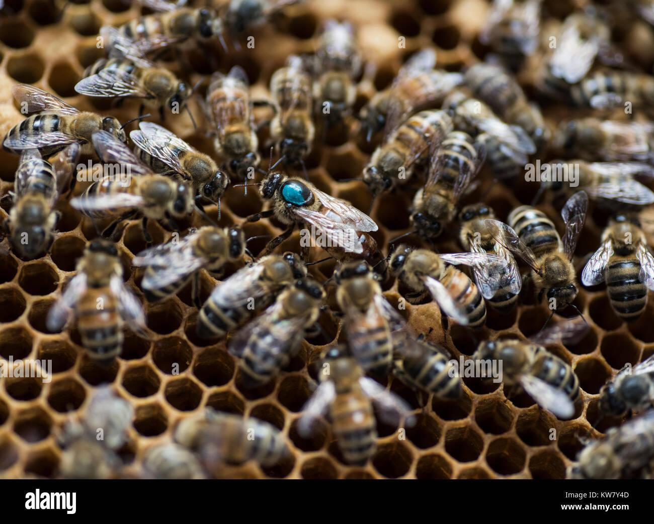 Honey bees closeup, macro, bee hive - Stock Image
