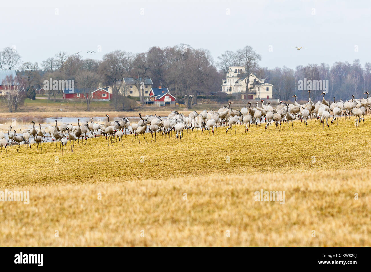Cranes on a field in a rural spring landscape Stock Photo