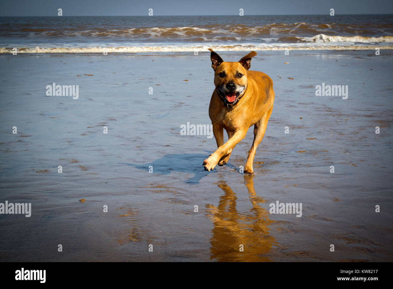 Staffordshire Bull Terrier running across wet sand near the sea - Stock Image