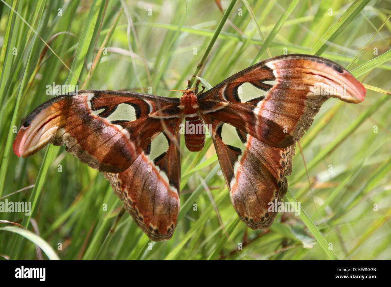 Attacus atlas biggest butterfly in the worlg, Laos - Stock Image
