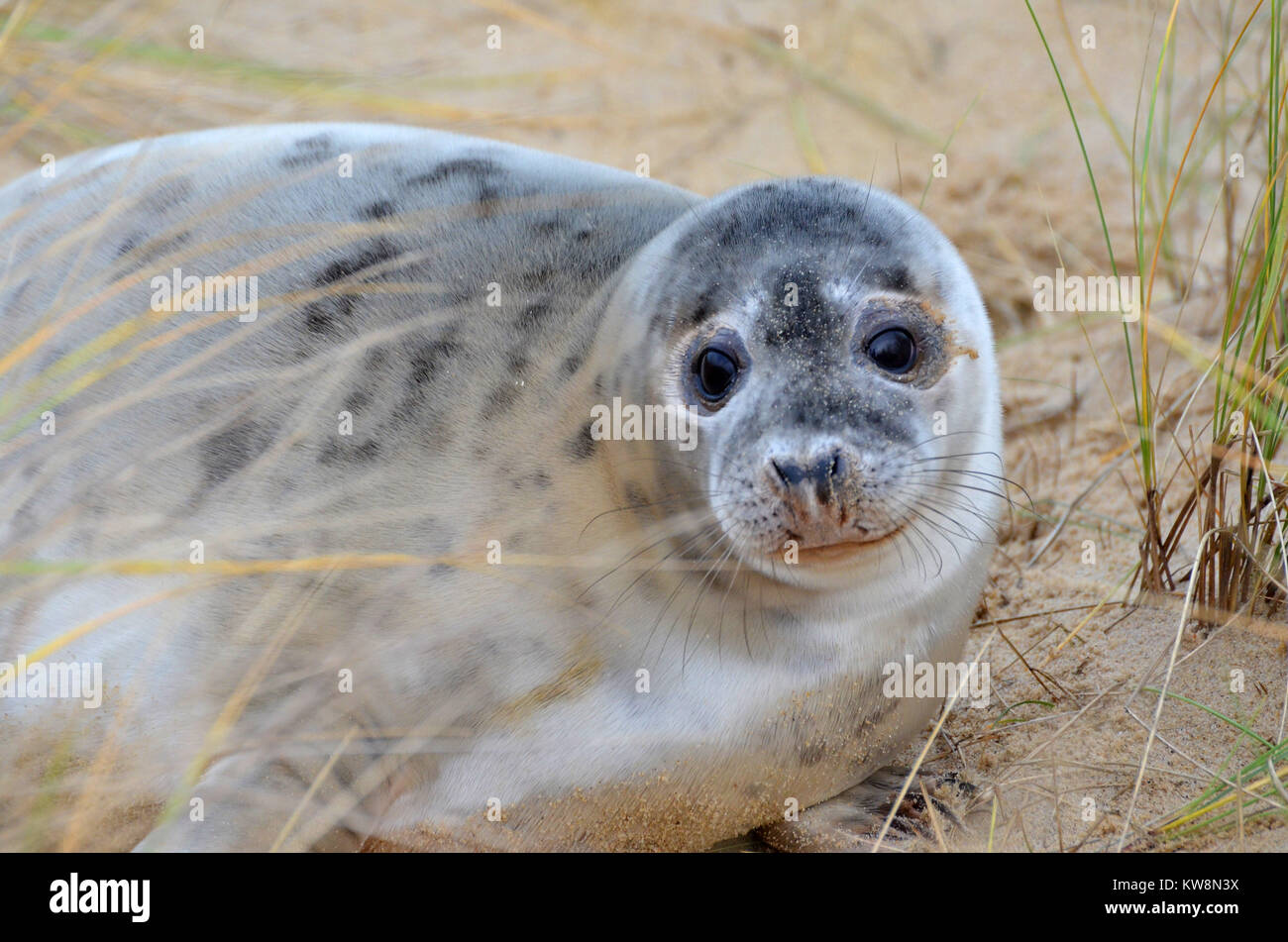 A young seal pup on Horsey Beach, North Norfolk, UK on New Year's EveStock Photo