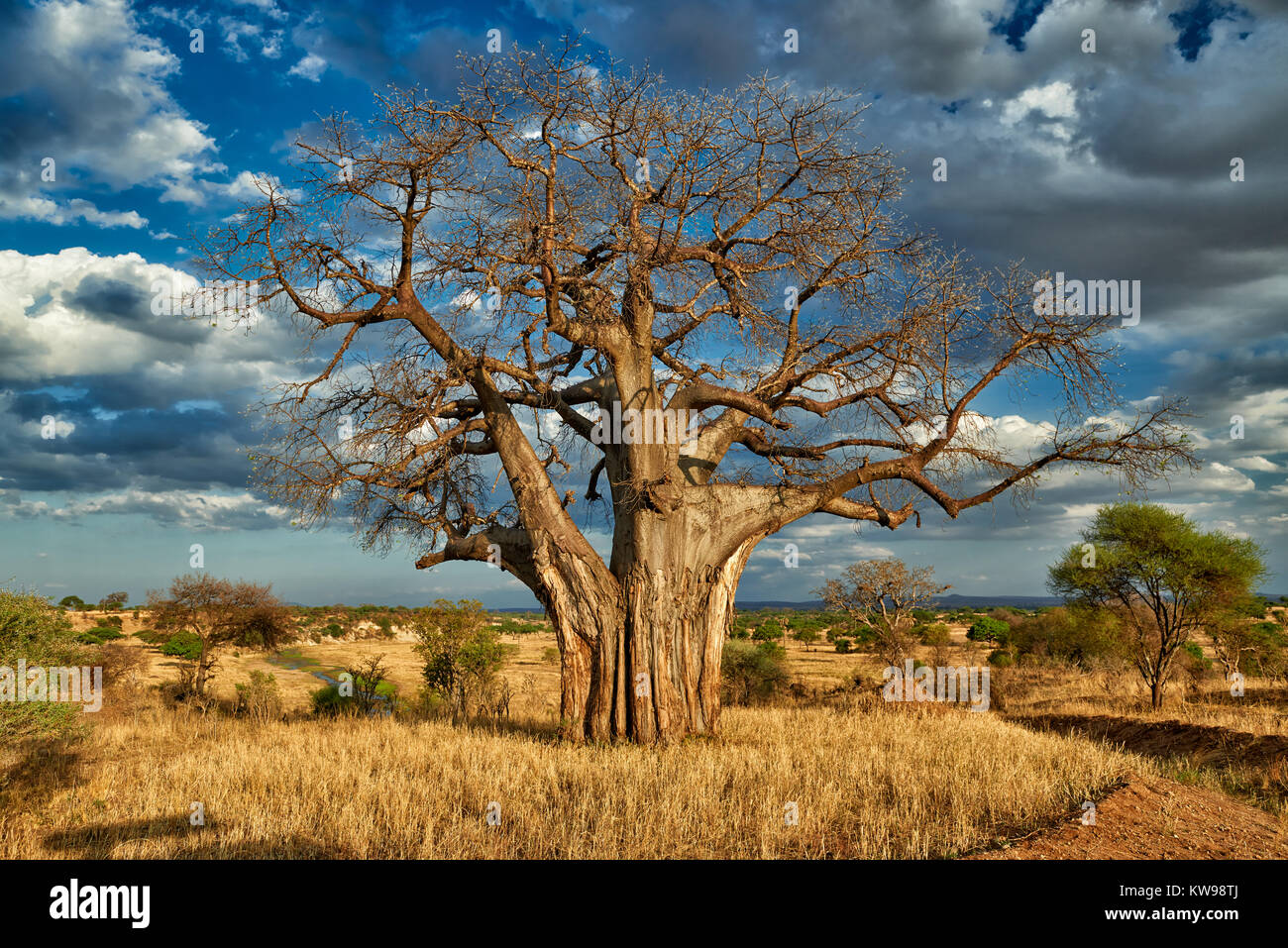 Baobab tree (Adansonia digitata) in landscape of  Tarangire National Park, Tanzania, Africa - Stock Image