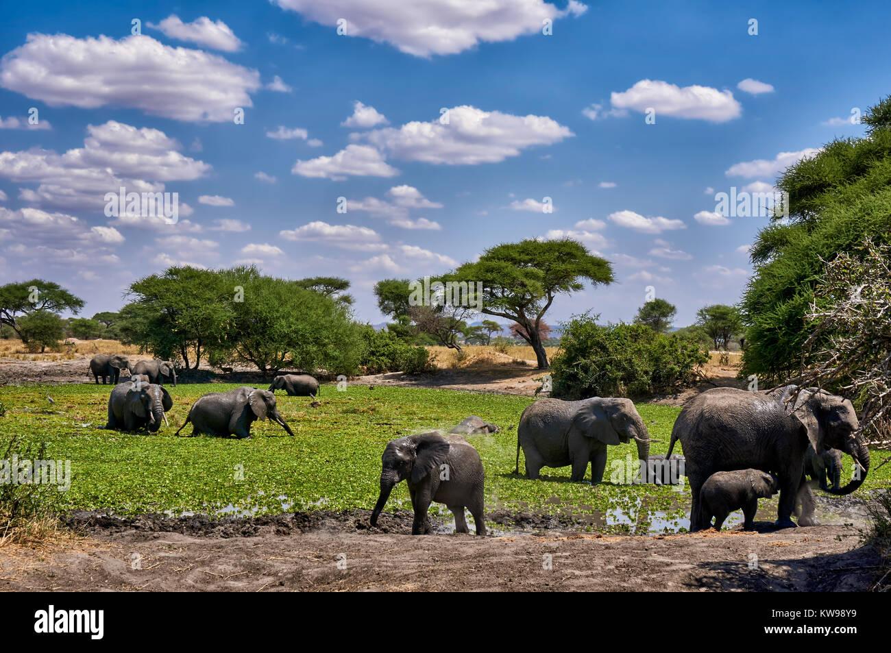 African bush elephants at waterhole, Loxodonta africana, in Tarangire National Park, Tanzania, Africa - Stock Image