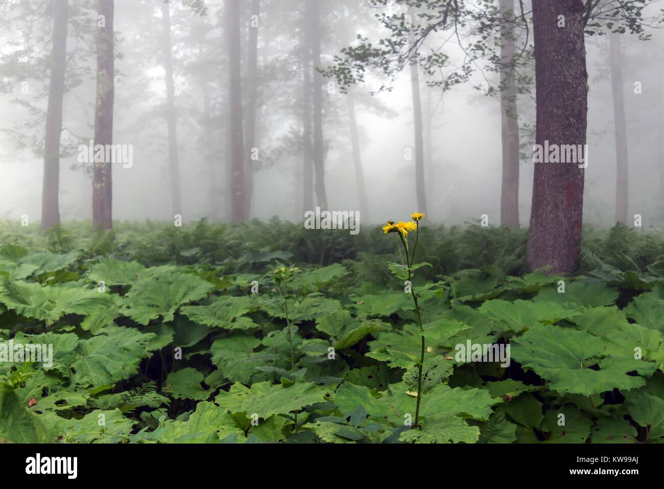 Wild fflowers and plants araound the lake Karagol,Borcka,Artvin Turkey. Stock Photo