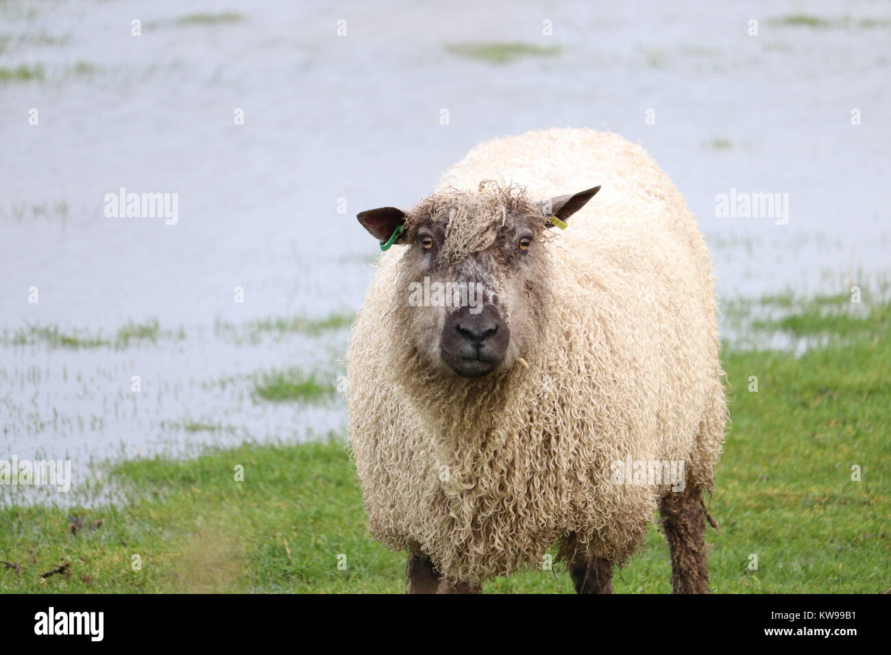 Woolly sheep thick fur close up in a field looking straight ahead - Stock Image