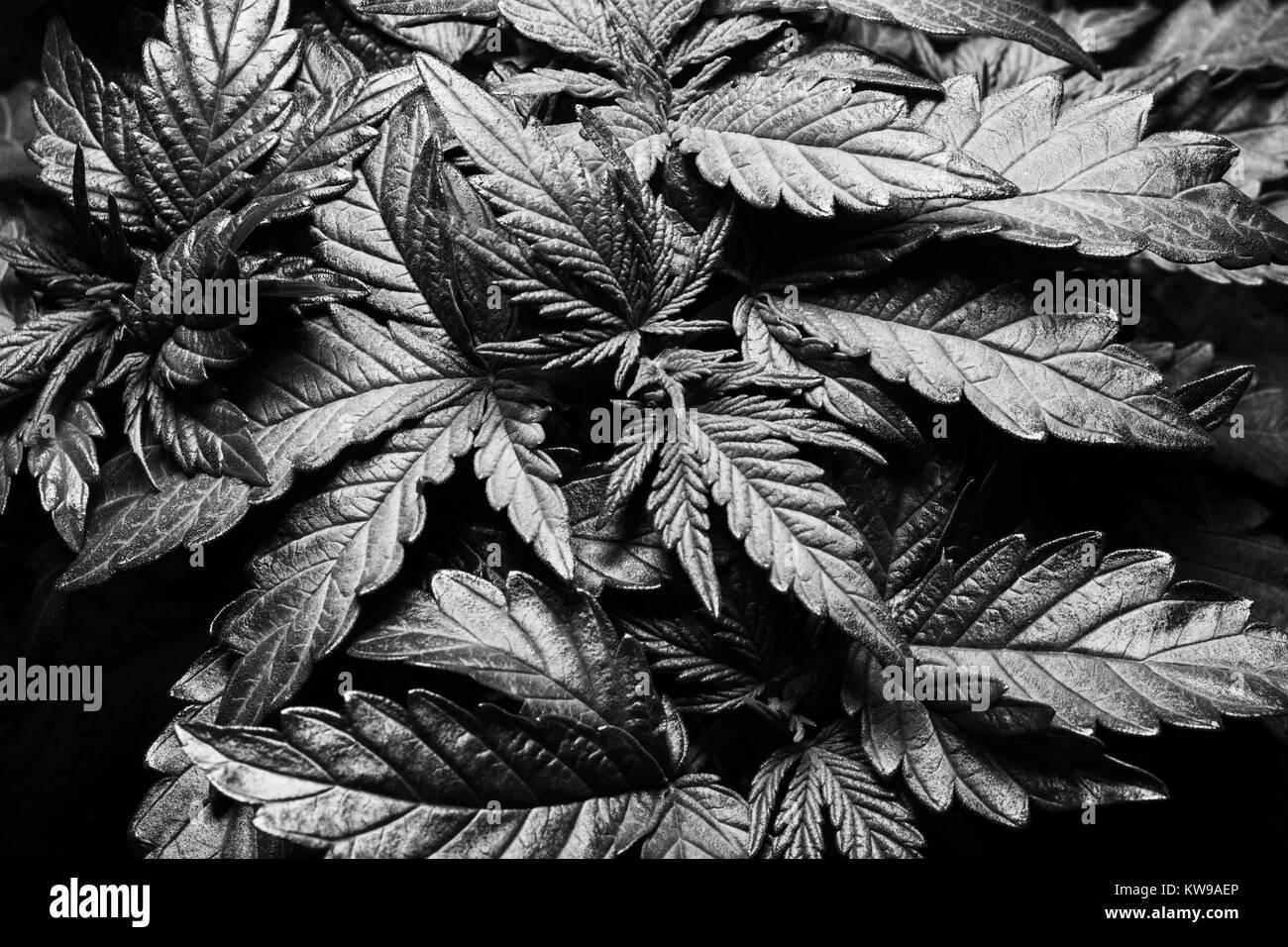Marijuana black and white stock photos images alamy a dark toned black and white image of young marijuana plants stock image biocorpaavc Images