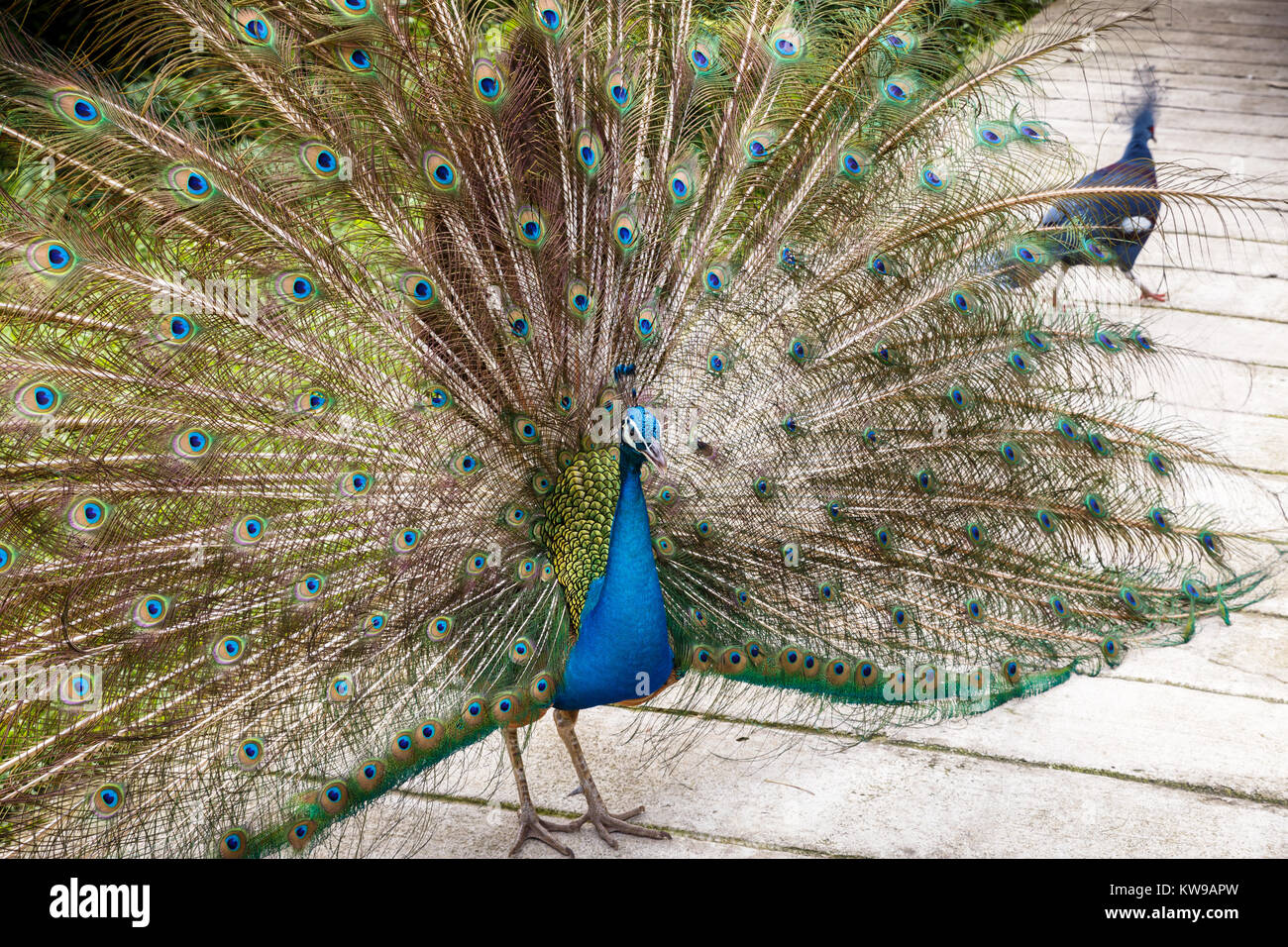indian blue peafowl - Stock Image