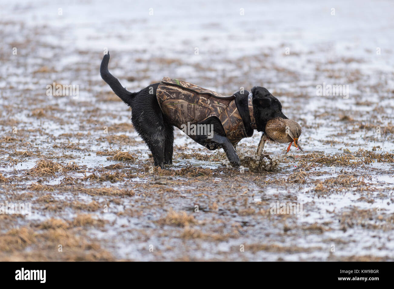7a1050370c904 ... DOG WEARING REDHEAD CAMO VEST SITTING ON GROUND SNOW AND DUCK HUNTER IN  BACKGROUND. Image ID: BDE5R2 (RM). A Black Labrador Retriever with a  Mallard ...