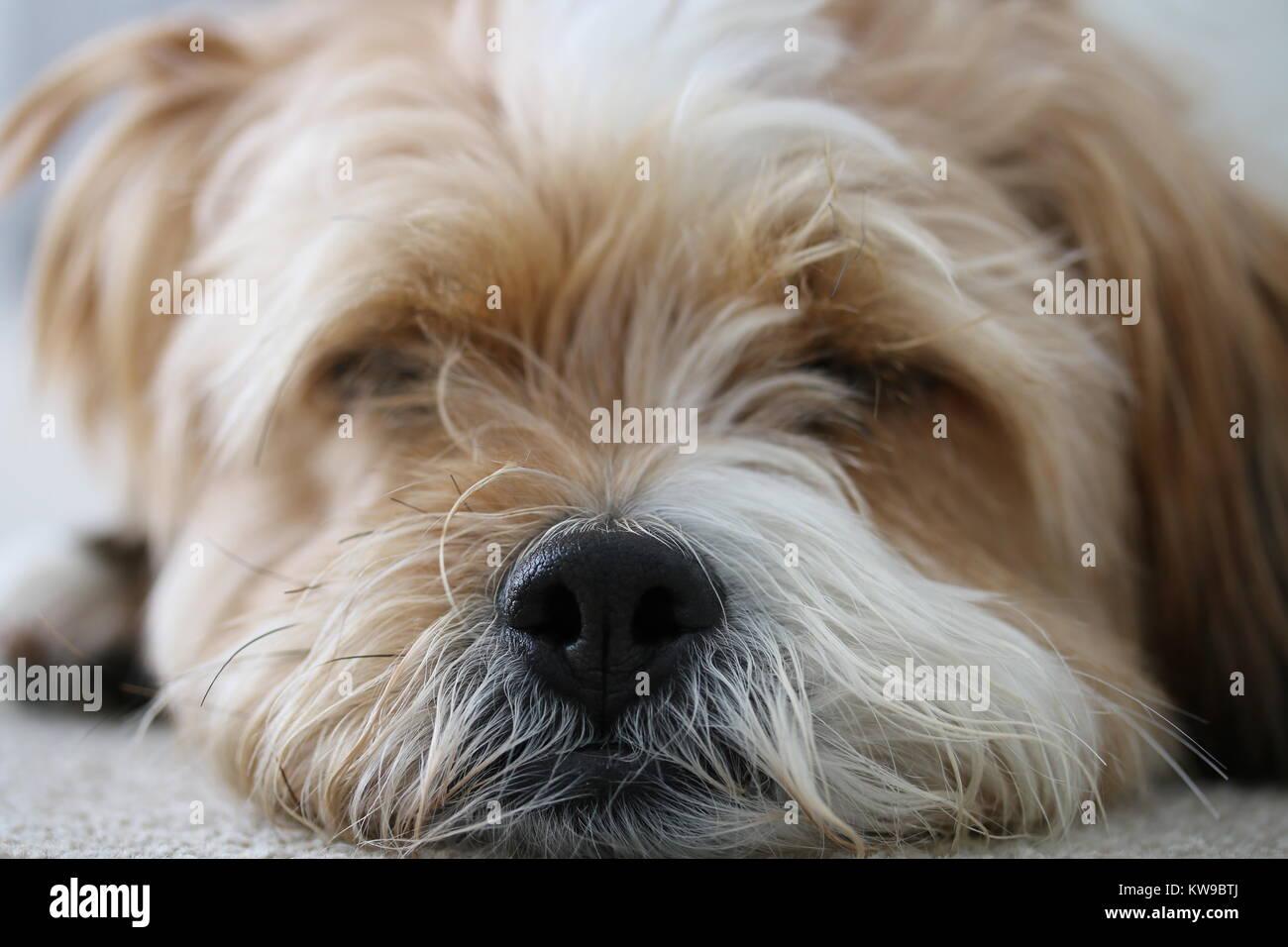 Close up of Dogs Head sleeping - Stock Image