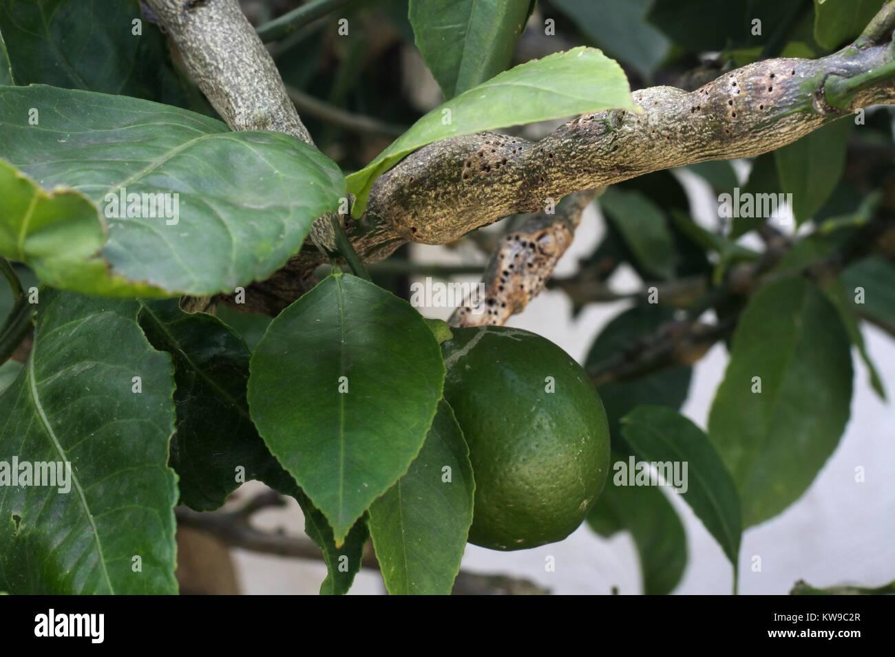 Severe gall wasp damage on suburban lemon tree. - Stock Image