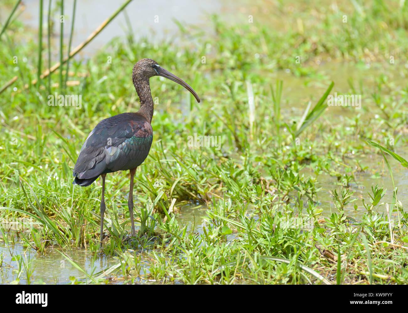 Glossy Ibis (Plegadis falcinellus) in Lake Manyara National Park - Stock Image