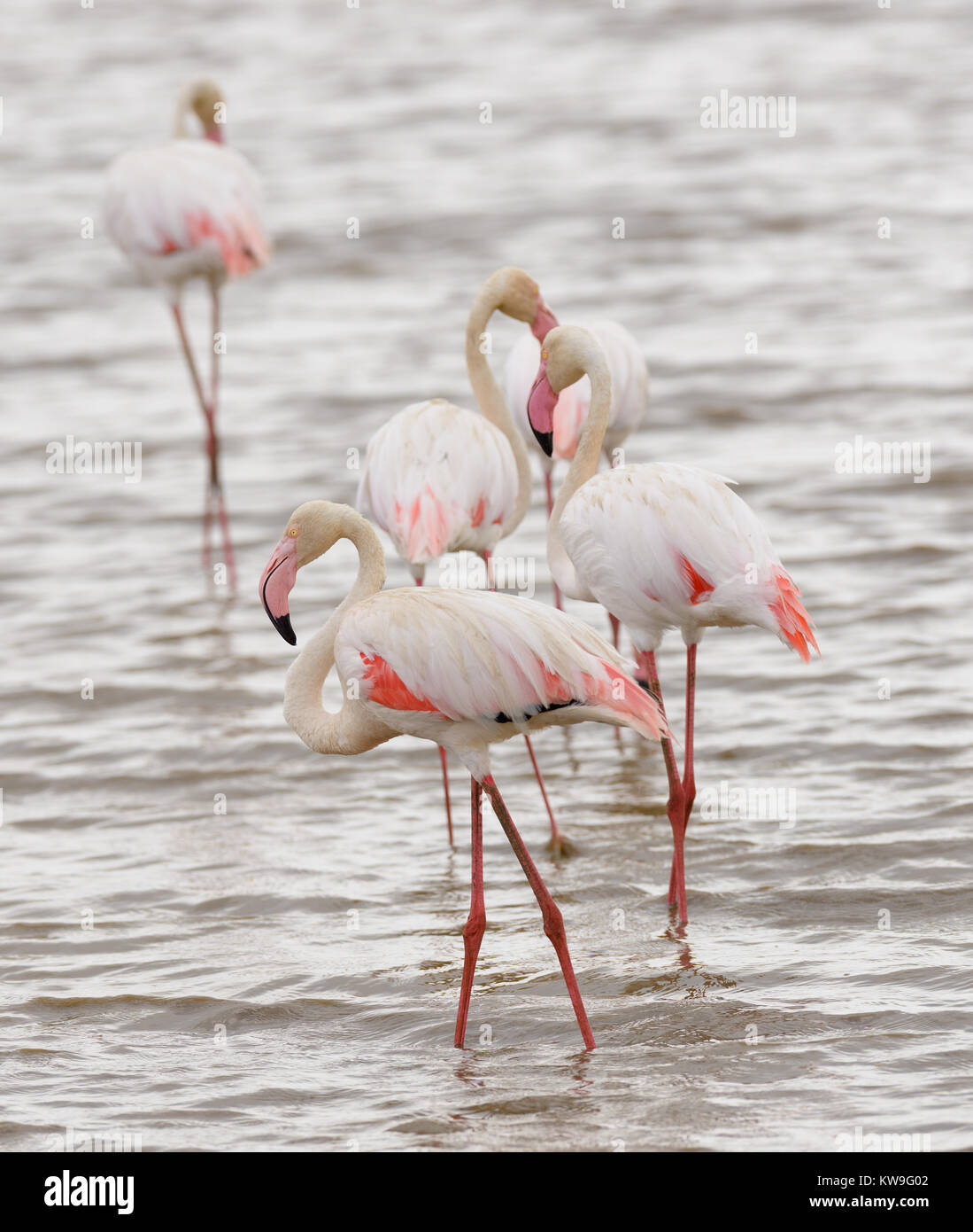 closeup of a group of Flamingo's (Phoeniconalas minor) in Lake Manyara, Tanzania - Stock Image
