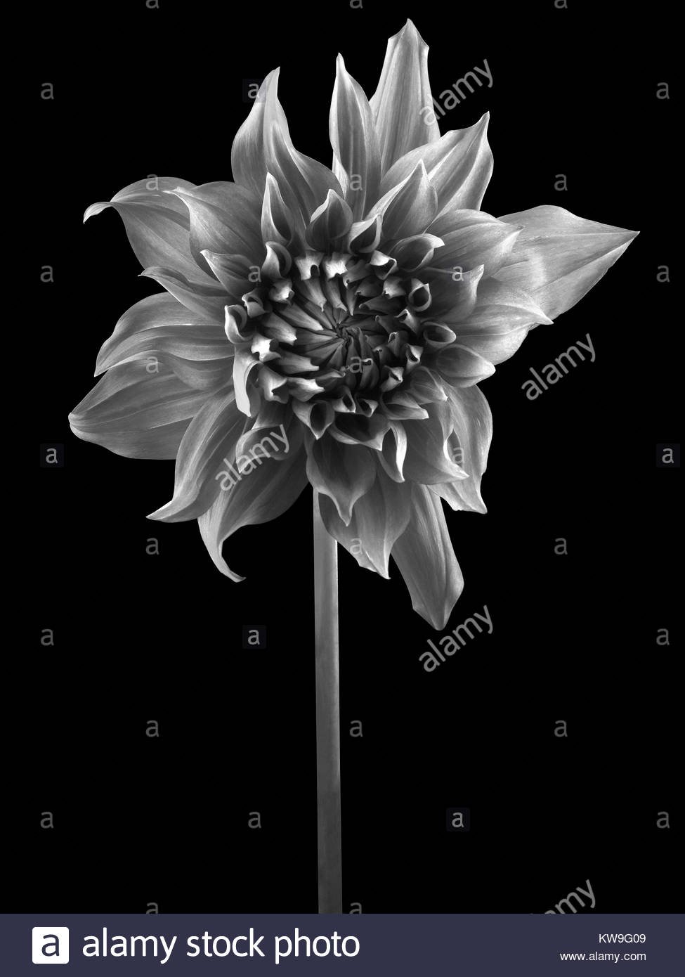 Dahlia flower black and white stock photos images alamy dahlia flower photographed on black background stock image izmirmasajfo