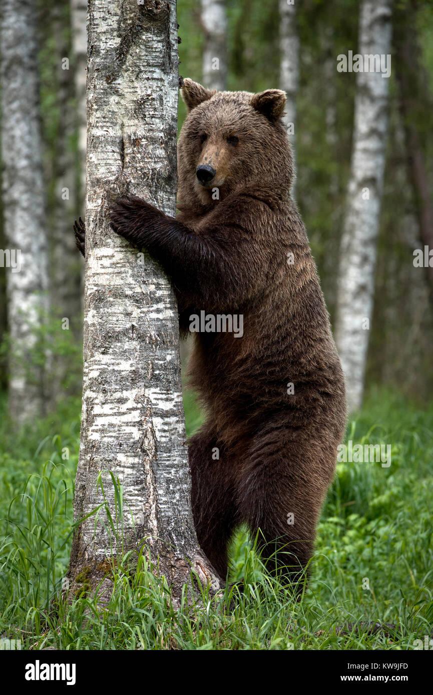 Eurasian Brown Bear, Finland Stock Photo