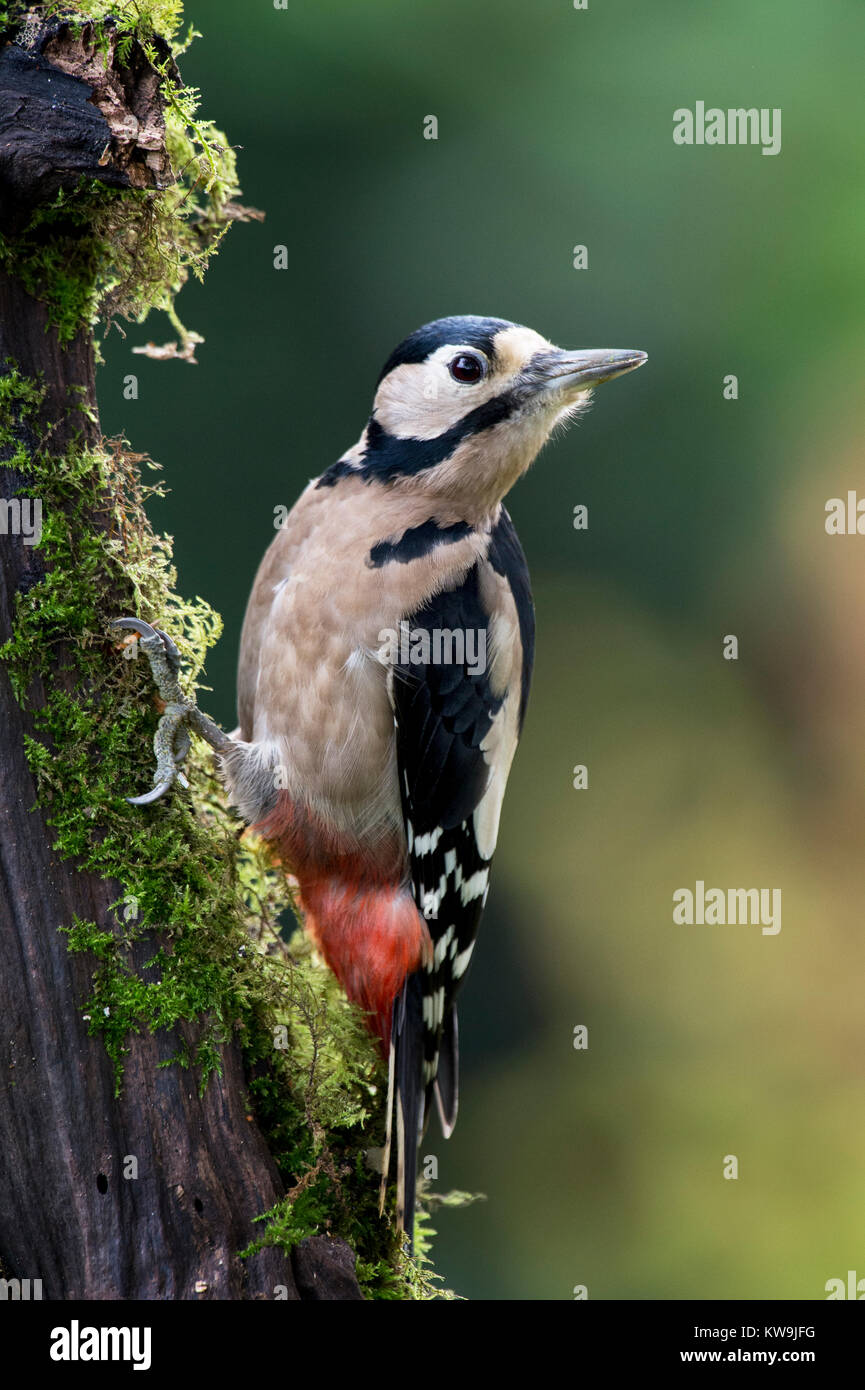 Greater-spotted Woodpecker Stock Photo