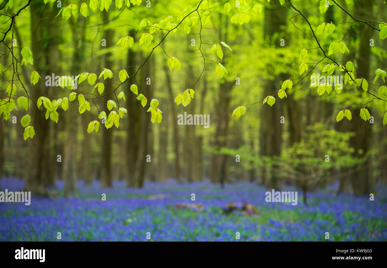 Beech Leaves and Bluebells Stock Photo