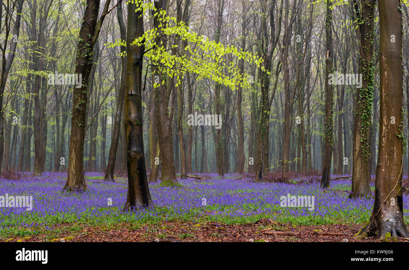 Bluebells in Beechwood Stock Photo