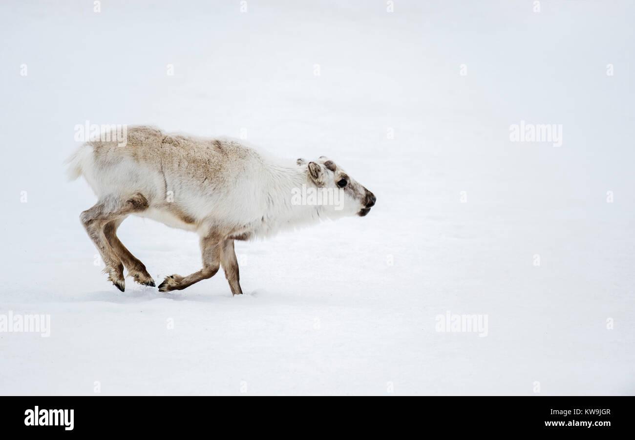 Svalbard Reindeer Stock Photo