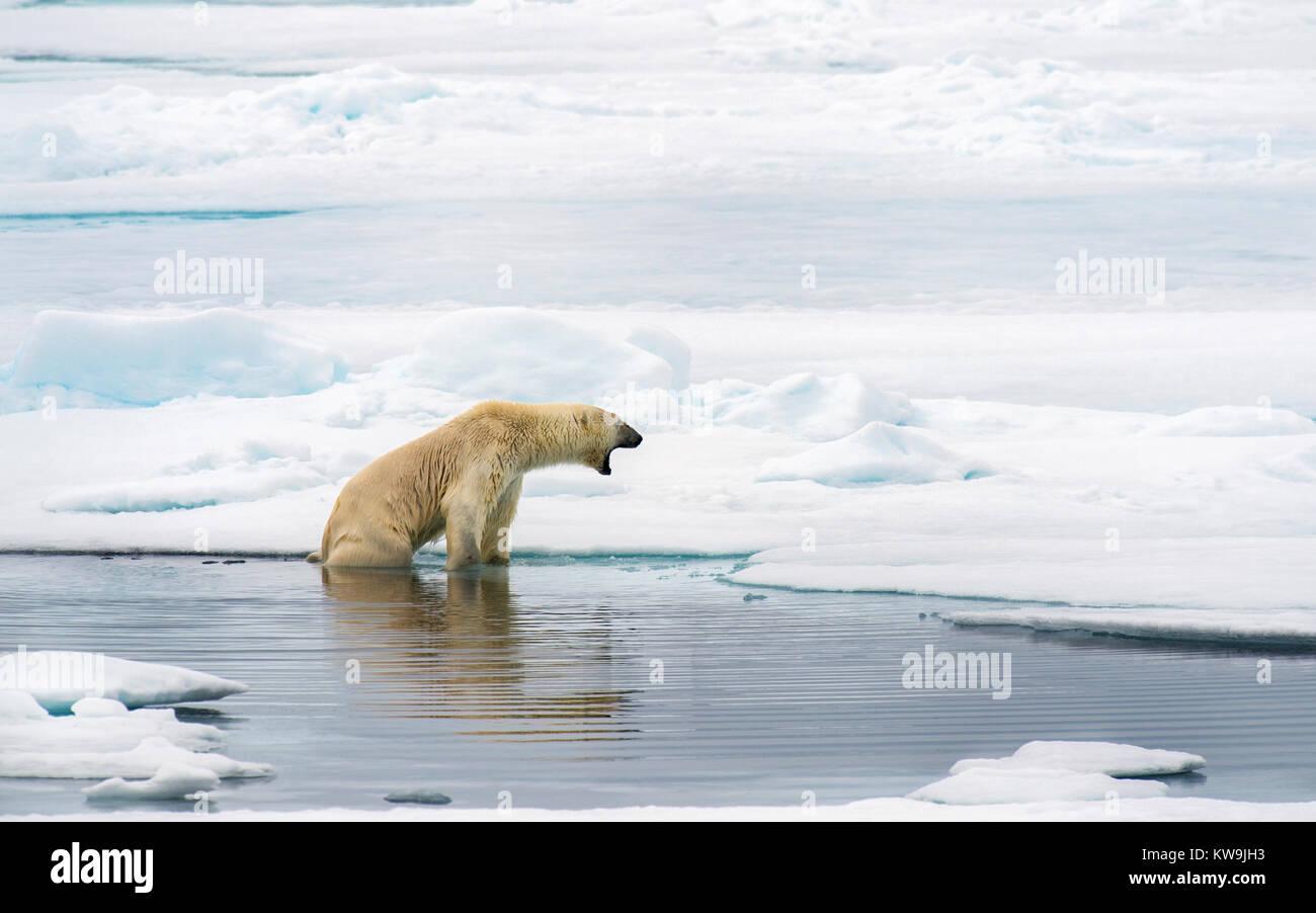 Polar Bear, Spitsbergen. Stock Photo