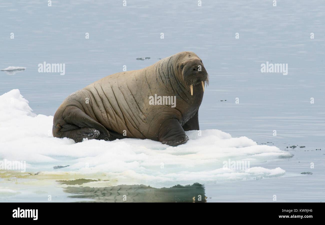 Atlantic Walrus on Ice Floe Stock Photo
