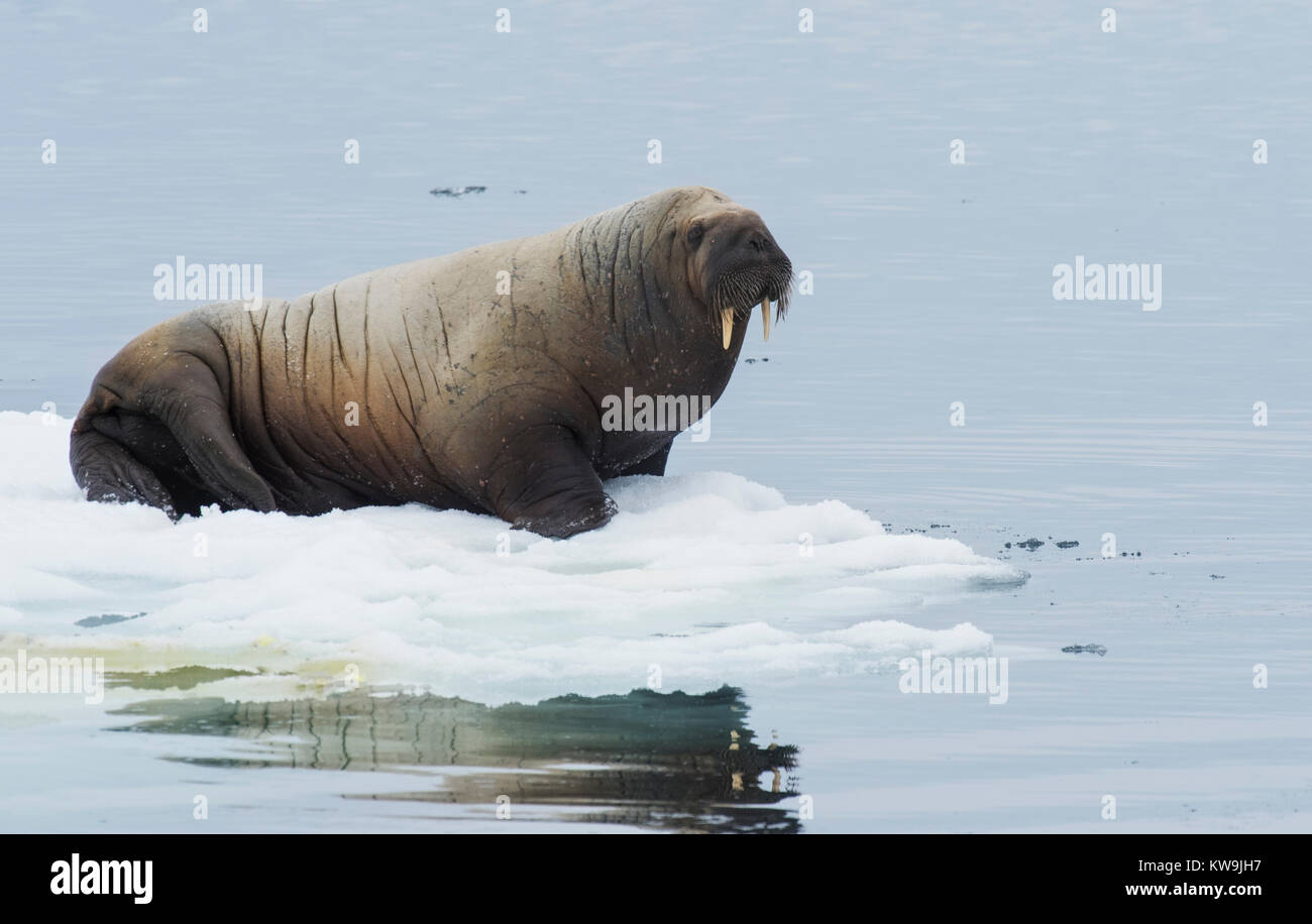 Atlantic Walrus on Ice Floe Stock Photo