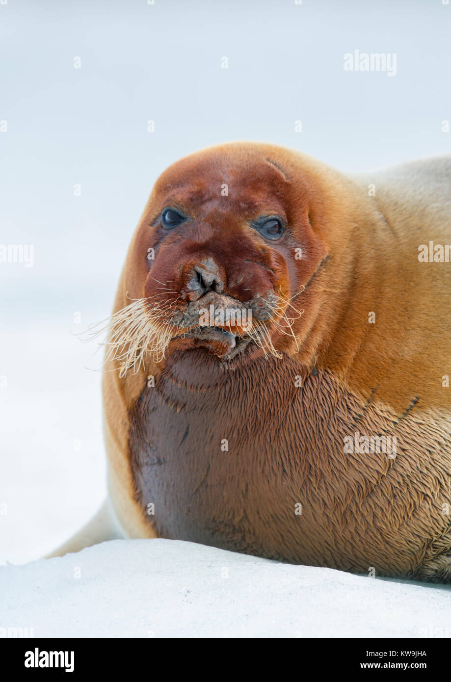 Bearded Seal on Ice Floe Stock Photo