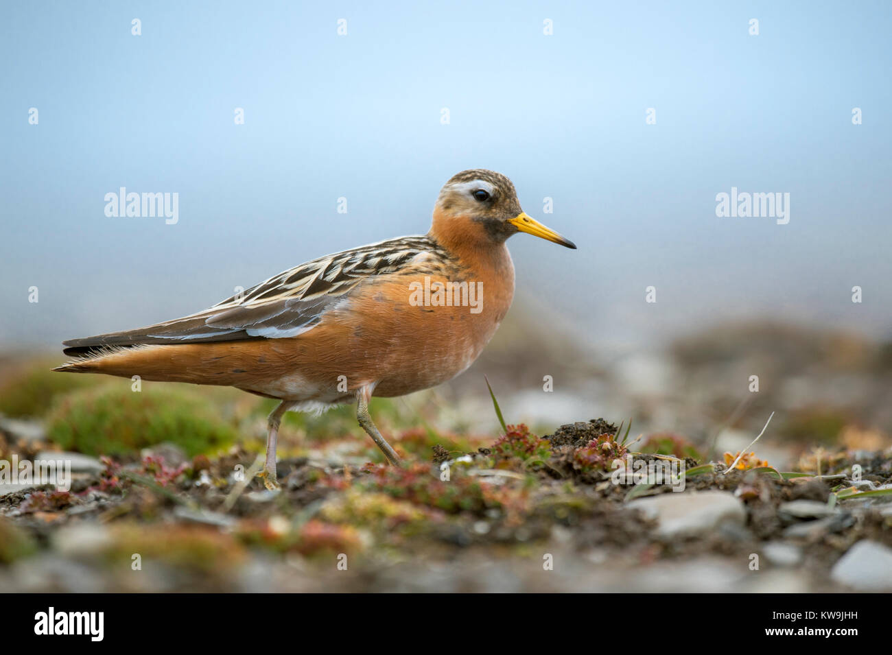 Grey Phalarope Stock Photo