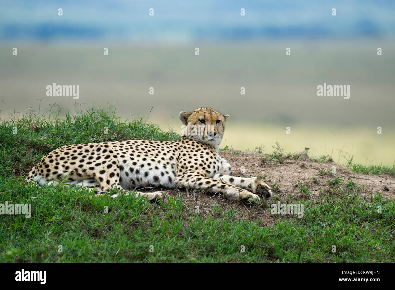 Cheetah resting on the African Savannah Stock Photo