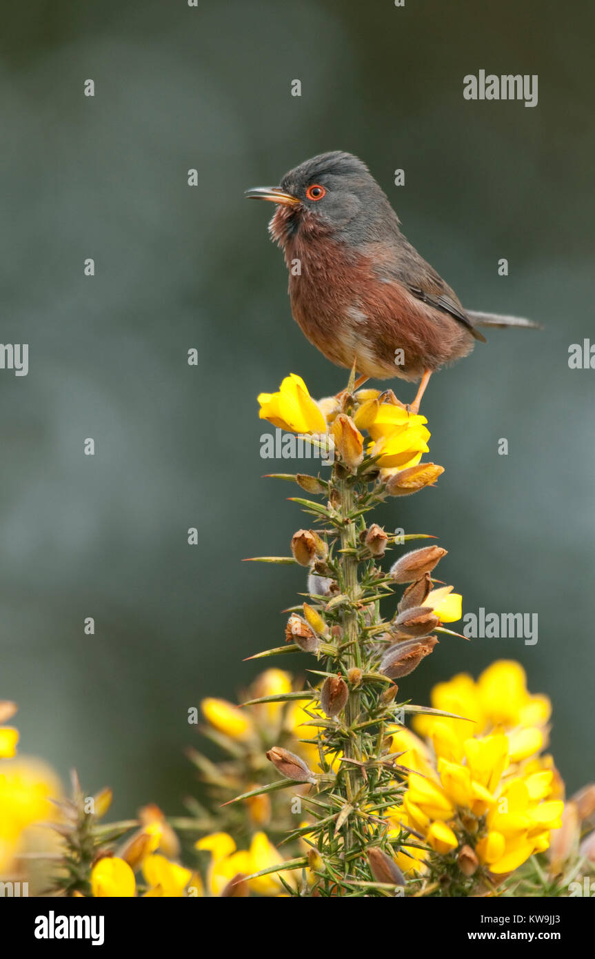 Dartford Warbler Stock Photo