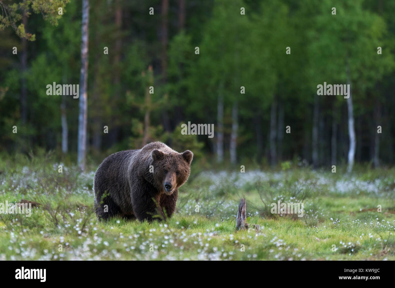 rasian Brown Bear, Finland Stock Photo