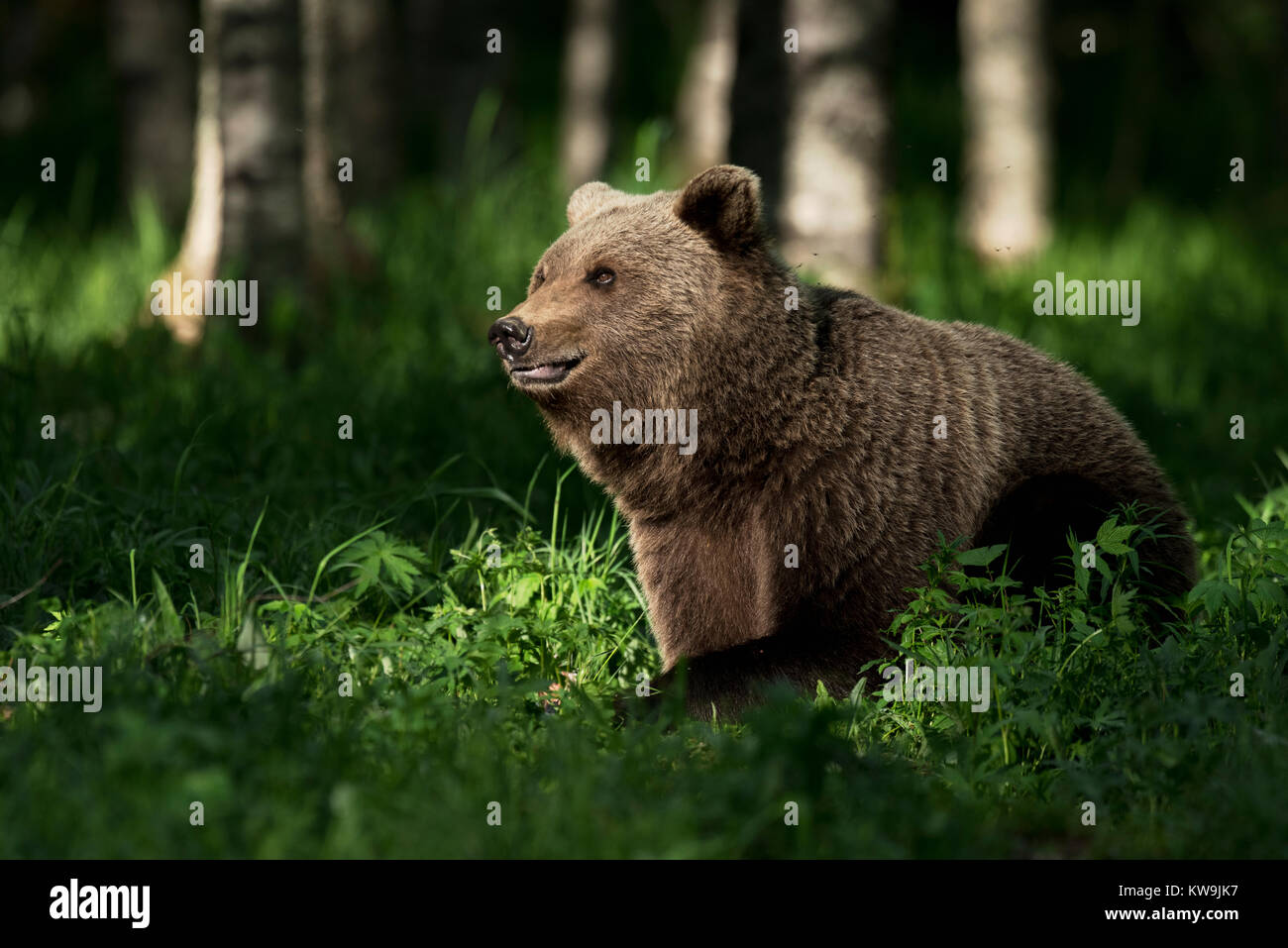 Eurasian Brown Bear, Finland Stock Photo
