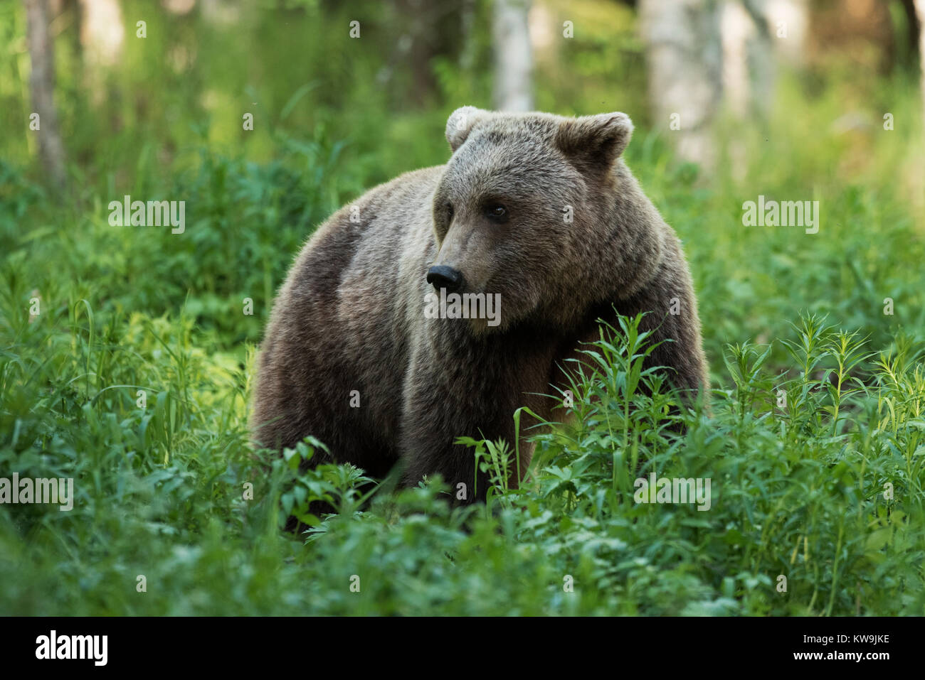 rasian Brown Bear, Finland Stock Photo