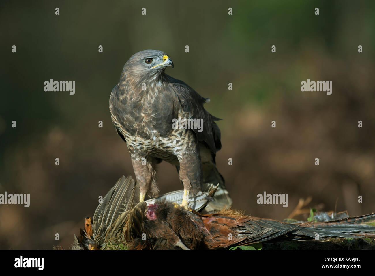 Buzzard on Pheasant Stock Photo
