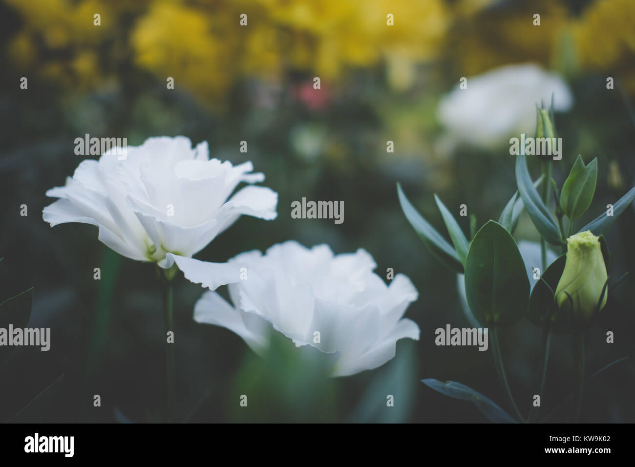 white lisianthus. texas blue bell. tulip gentian. blooming flower in garden. eustoma flora in park. - Stock Image