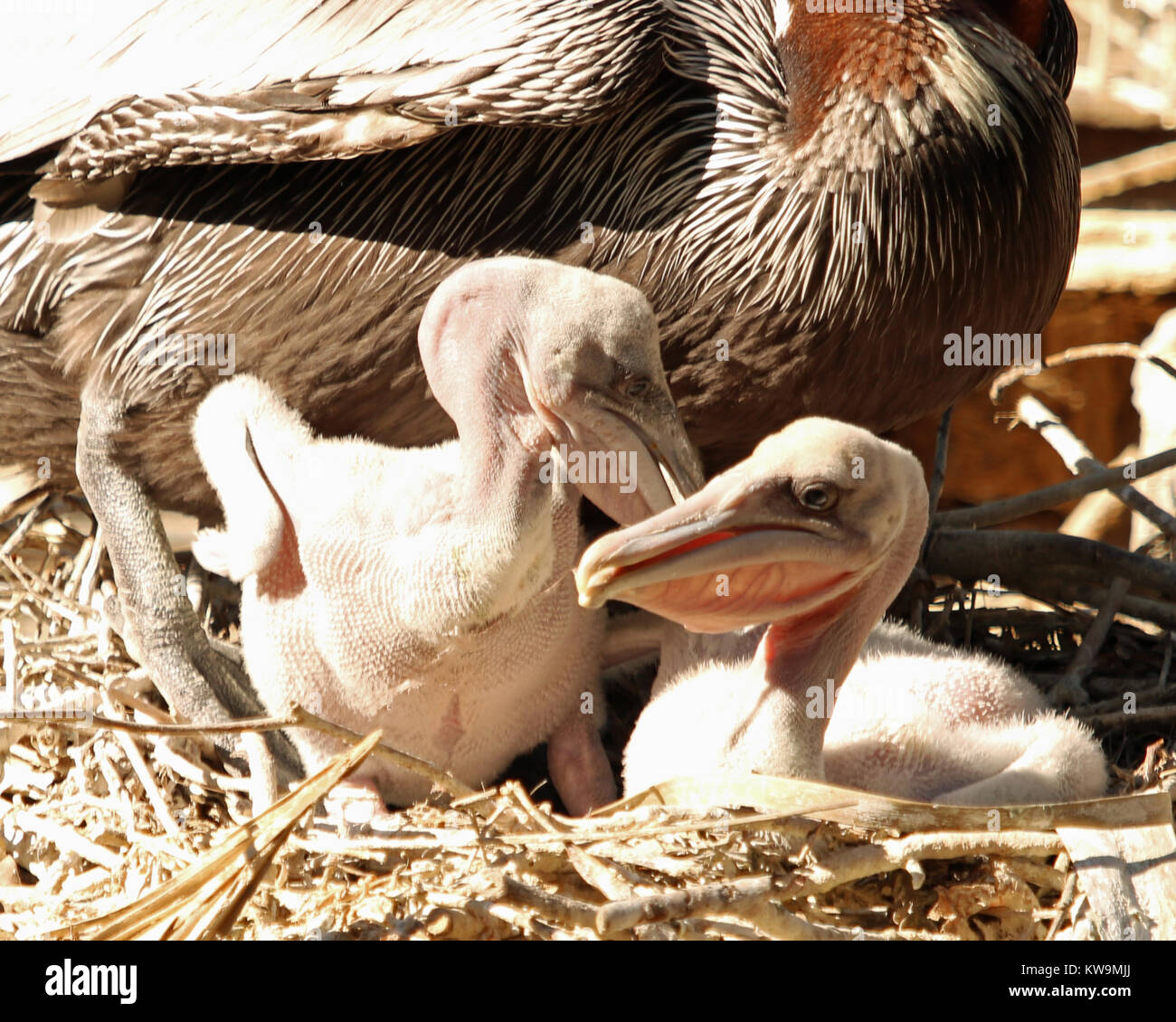 Baby Brown Pelicans in nest are so ugly that they are cute as they squabble loudly for food - Stock Image