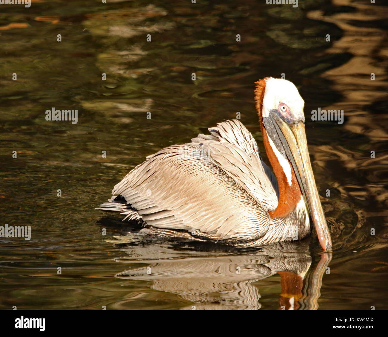 During breeding season the plumage on the Brown Pelican turns from a golden yellow color to a deep reddish-brown - Stock Image
