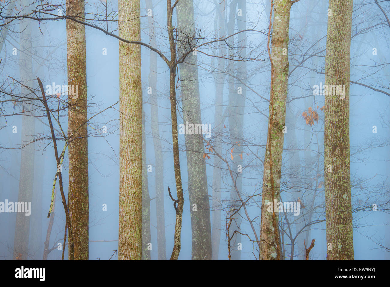 Trees and fog, Great Smoky Mountain National Park, TN, USA, by Bill Lea/Dembinsky Photo Assoc - Stock Image