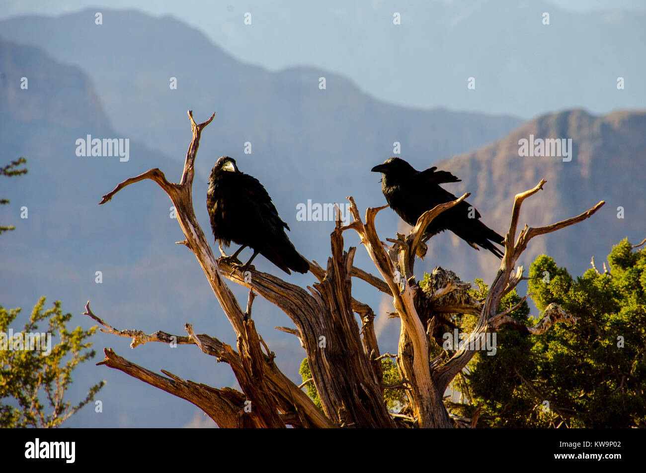 Ravens perched on a tree at Grand Canyon West, Arizona, USA - Stock Image