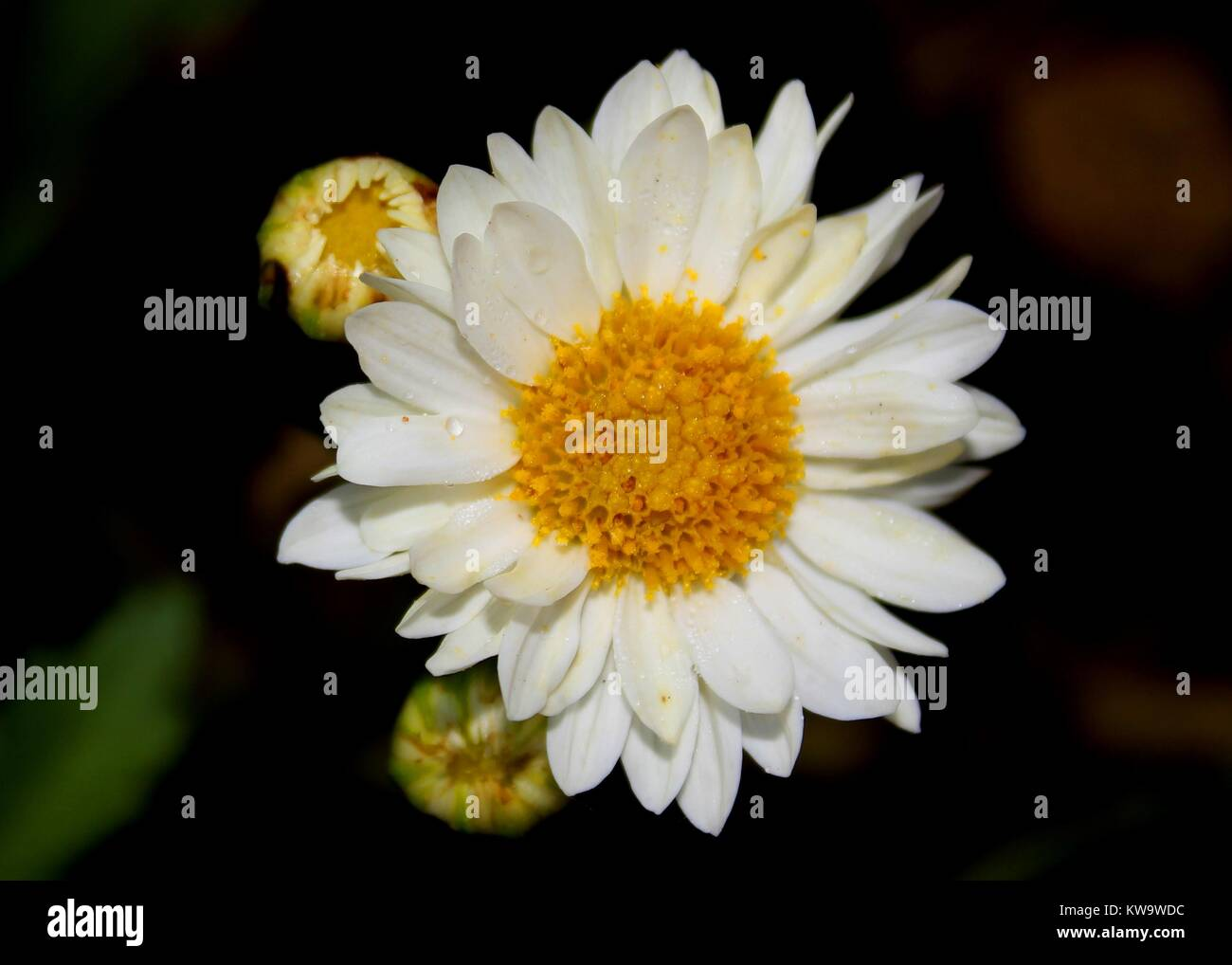 Common Daisy Flower Bud Stock Photos Common Daisy Flower Bud Stock