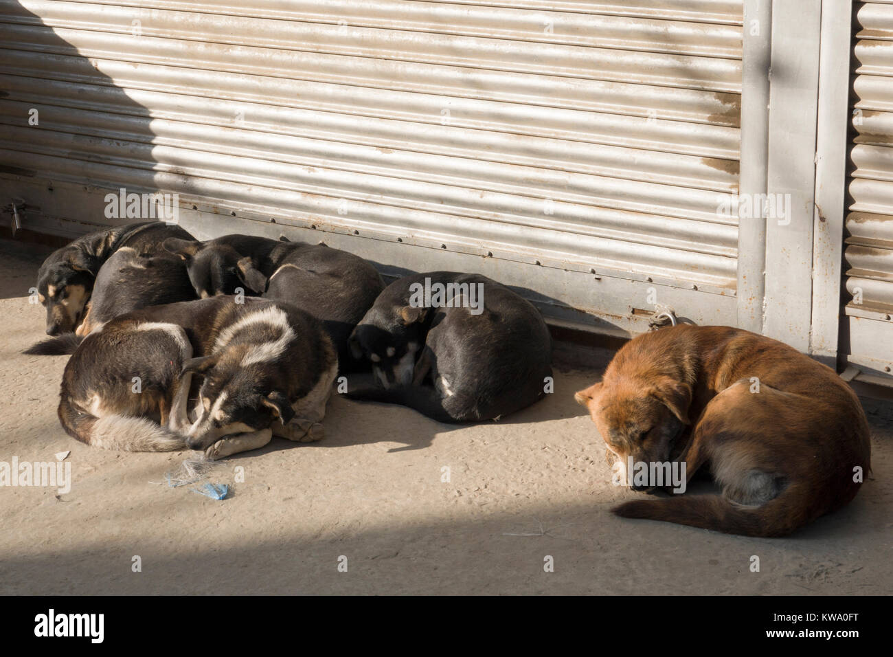 Pack of street dogs sleeping during winter in Kathmandu, Nepal Stock Photo