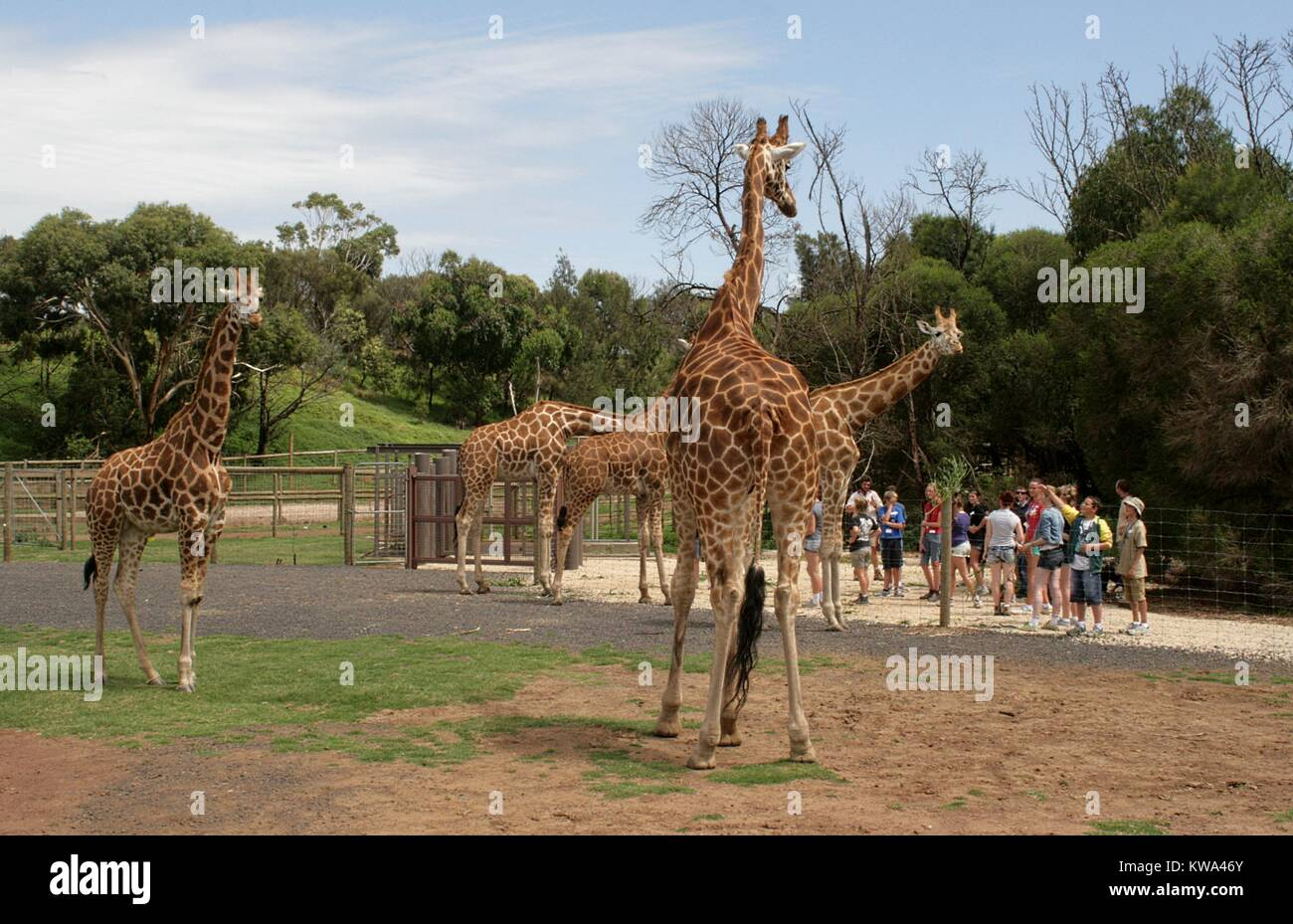 A family of giraffes watching visitors at the Werribee Open Range Zoo, Melbourne, Australia. Stock Photo
