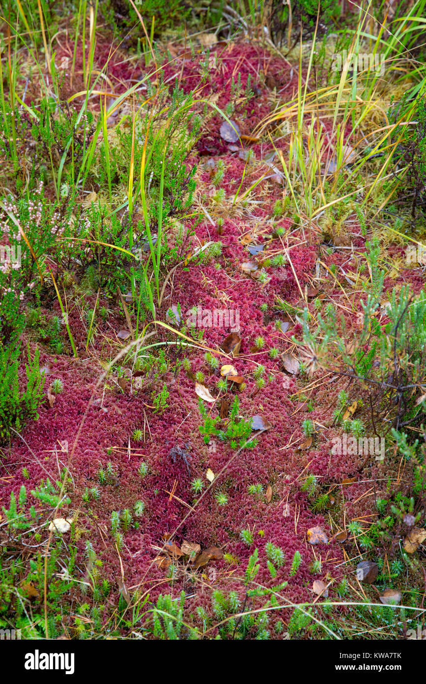 Sphagnum moss making a splash of colour in Wester Ross, Scottish Highlands, Autumn 2017 - Stock Image
