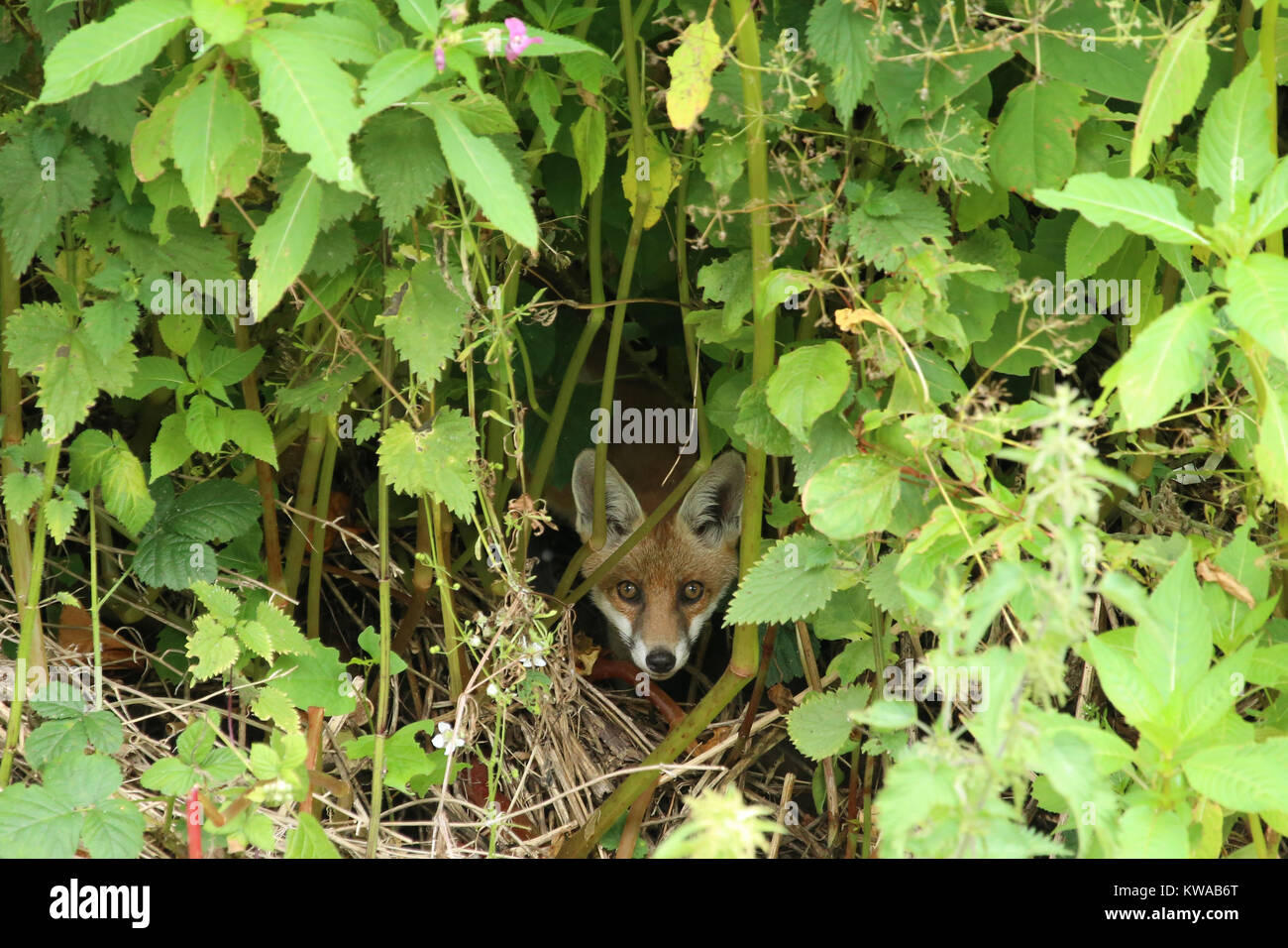 A red fox, Vulpes vulpes, cautiously peers out from its position of concealment amongst the undergrowth. - Stock Image