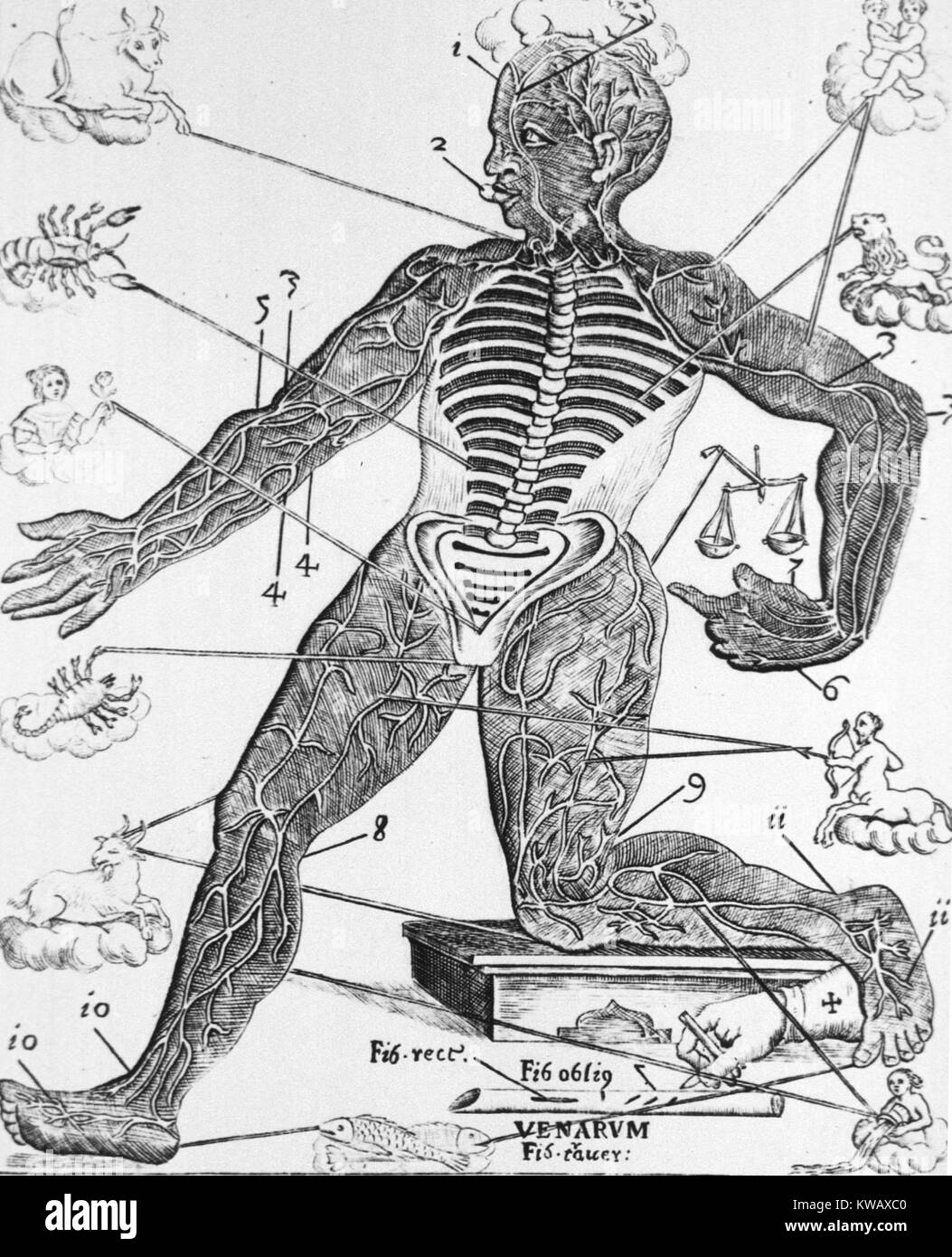Human figure with the spines and the ribs exposed, also showing the major arteries and veins of the extremities - Stock Image