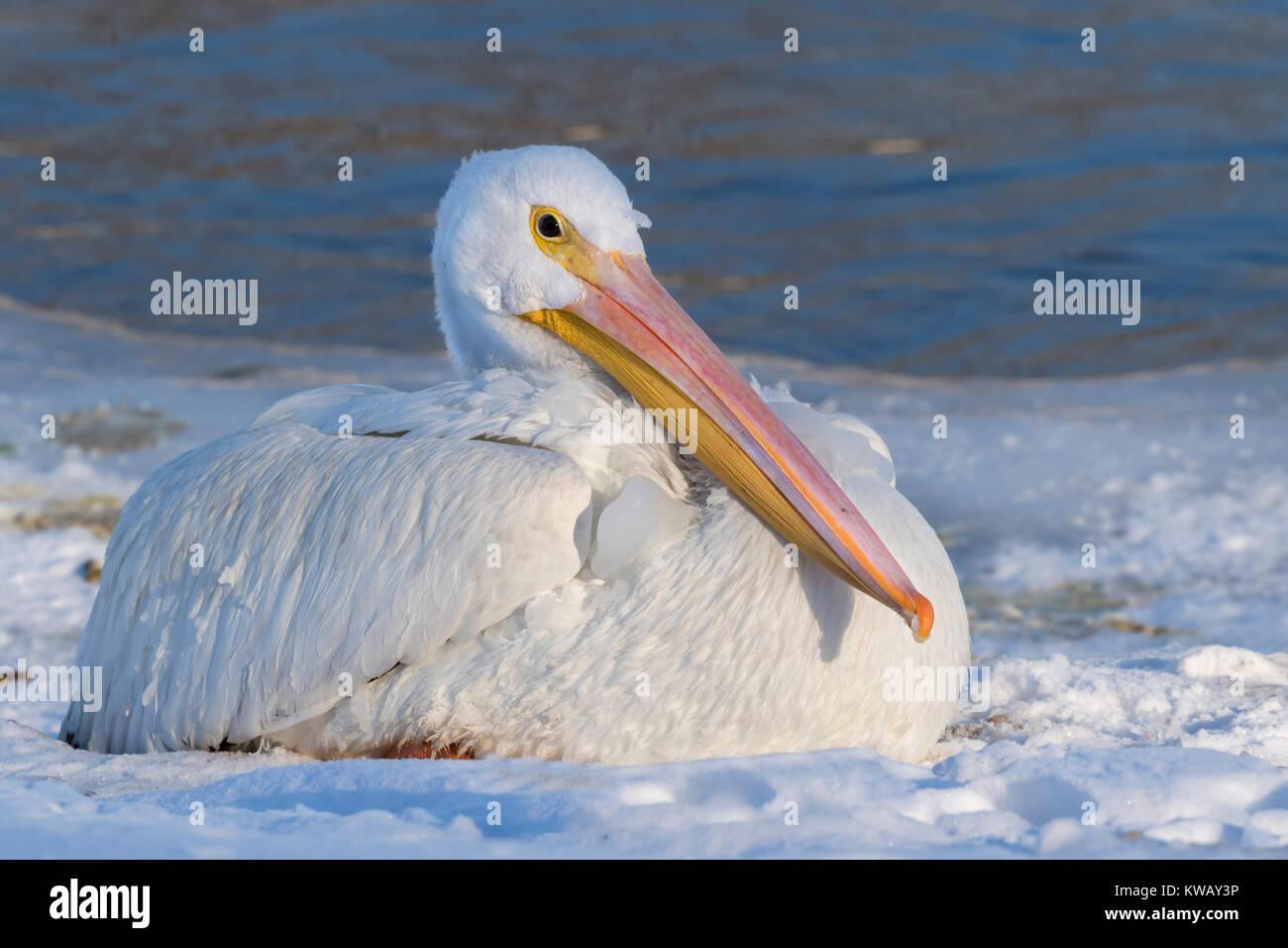 American white pelican (Pelecanus erythrorhynchos) on snow near the freezing lake, Saylorville Lake, iowa, USA - Stock Image