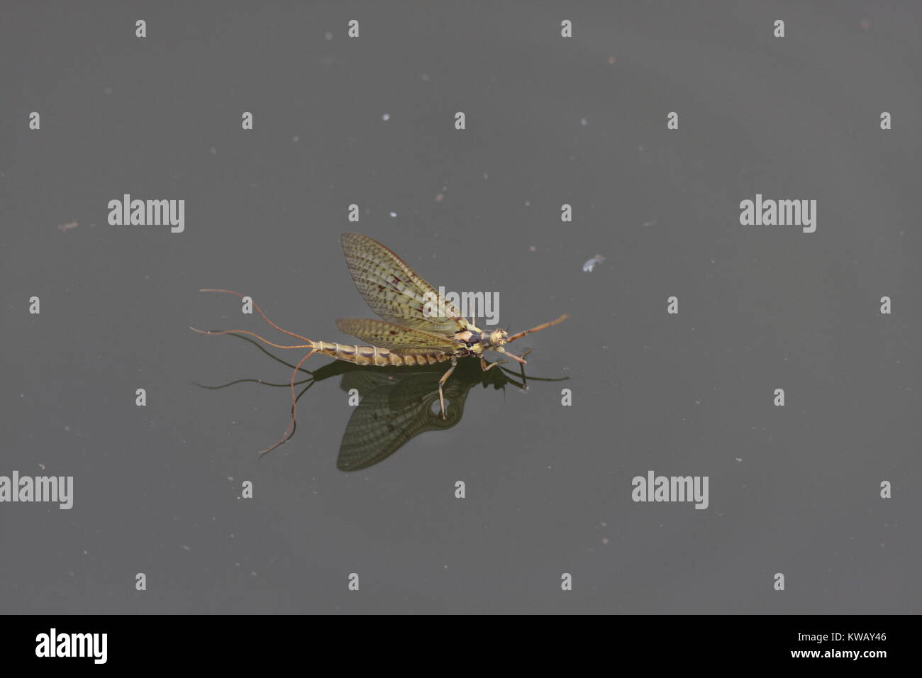 Emerged Mayfly in May, this is a three tail Mayfly standing on water, most likely a Ephemera Danica but maybe vulgata - Stock Image
